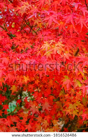 Red Acer palmatum ( palmate maple or smooth Japanese maple ) leaves. Red-foliaged Japanese maple, close up. Good Red  Fall Foliage.