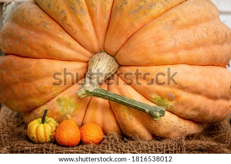Orange colored giant pumpkin harvested in autumn Royalty-Free Stock Photo #1816538012