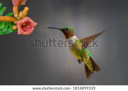 Hummingbirds are birds native to the Americas . They are the smallest of birds, most species measuring 7.5–13 cm in length.
