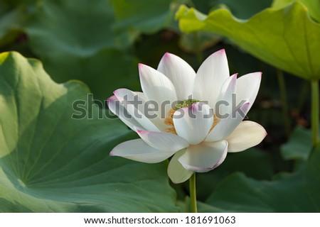 White lotus lily flower #181691063