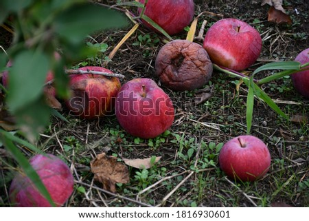A bunch of red apples on the ground. Some apples have rotted. Picture taken in St. Charles, Missouri.