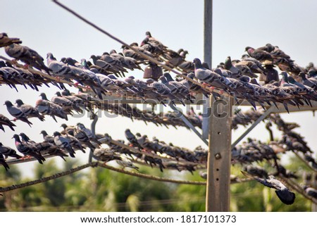 A huge number of Blue dove (Indian-Sri Lanka dove, Columba livia intermedia) perched on electrical wires and wires are sagging, Sri Lanka