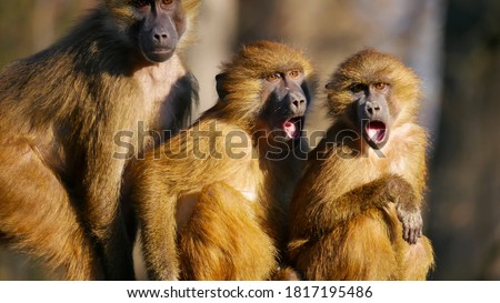 Baboons family . Three babons funny ekspresion