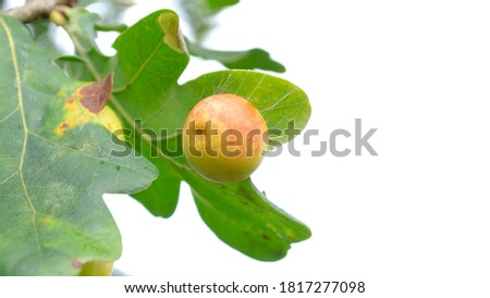 Acorn on the branch. Close up picture with selective focus. Nature background.