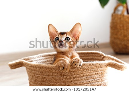Studio shot of small cute abyssinian kitten sitting in the basket at home, white wall background. Young beautiful purebred short haired kitty. Close up, copy space. Royalty-Free Stock Photo #1817285147