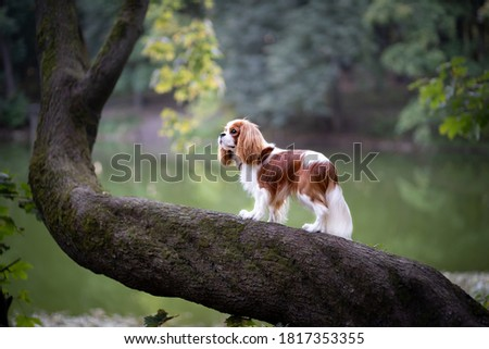 Magnificent cavalier king Charles Spaniel on a tree trunk on a lake background Royalty-Free Stock Photo #1817353355