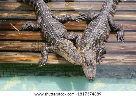 Alligators cuddle together to LOVE