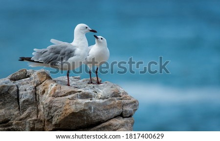 seagulls at the rocky shore of the indian ocean in south Africa -lloking as they are a family or a couple for eternity  Royalty-Free Stock Photo #1817400629
