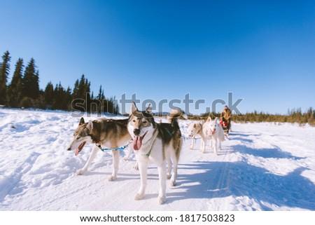 Dog sledding Fairbank, Alaska Winter