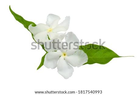 arabian jasmine, jasminum sambac, flower and leaves, jasmine tea flower isolated on white background #1817540993