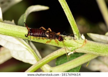 Macro photograph of an isolated Common earwig or European earwig (Forficula auricularia) an omnivorous insect in the family Forficulidae, moving on a stem of a Buddleja plant.