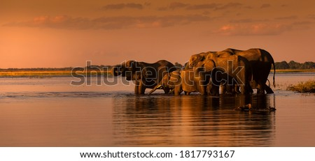This fantastic sunset painted this herd of elephants who came to dring along the Chobe river in deep orange colours; this is African at its best. Royalty-Free Stock Photo #1817793167