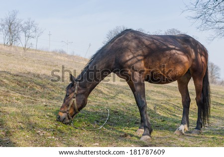 Chestnut horse (mare) grazing first fresh grass on a spring pasture #181787609