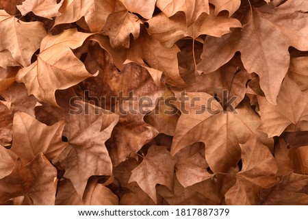 Brown detailed autumnal background of group of dried platanus leaves. Top view Royalty-Free Stock Photo #1817887379