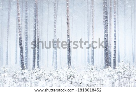 Snow-covered pine tree forest in a blizzard. Mighty evergreen trees close-up. Atmospheric landscape. Idyllic rural scene. Winter wonderland. Panoramic view. Pure nature, climate change, seasons Royalty-Free Stock Photo #1818018452