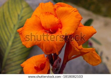 Close up of a huge orange lily flower.The flower head stretched into the sky. Tropical blooming flower in the rain forest of the Cameron Highlands, Malaysia. Detailed picture of a orange lily flower