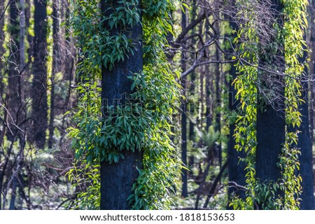 Bushfire regrowth in the forests of the South Coast of NSW, Australia. Royalty-Free Stock Photo #1818153653