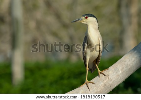A Black-crowned Night Heron is standing on a petrified branch. Tommy Thompson Park, Toronto, Ontario, Canada. Royalty-Free Stock Photo #1818190517
