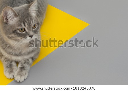 on a yellow-gray background in the shape of a triangle lies a gray cat, looking to the side. Close-up, soft focus. Idea - layout for advertising, place for inscriptions, postcard