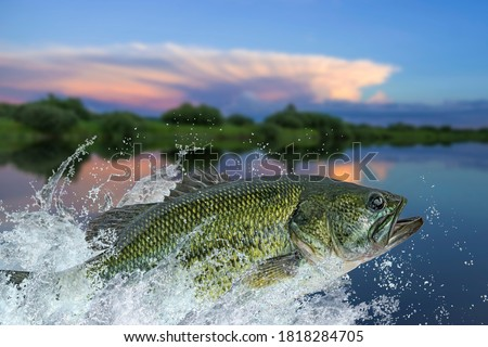 Bass fishing. Largemouth perch fish jumping with splashing in water Royalty-Free Stock Photo #1818284705