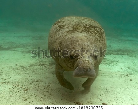 Juvenile manatee swimming in a natural spring