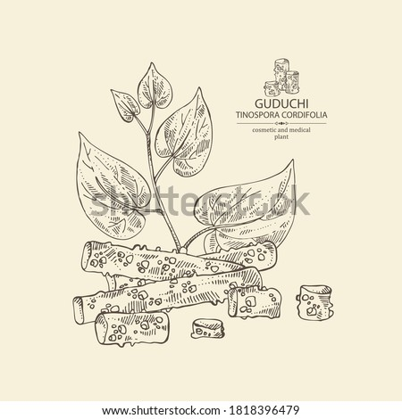 Background with guduchi : giloy plant and guduchi leaves. Tinospora cordifolia. Cosmetic and medical plant. Vector hand drawn illustration #1818396479