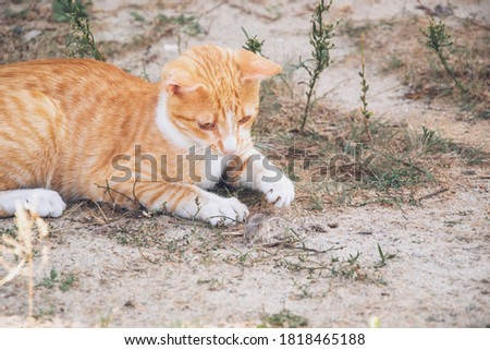 Close up picture of red cat with mouse playing in the garden on the street. Domestic cat looking on mouse and try to catch it in its paws. Hunter at house on wild small animals. Pet found a mouse.