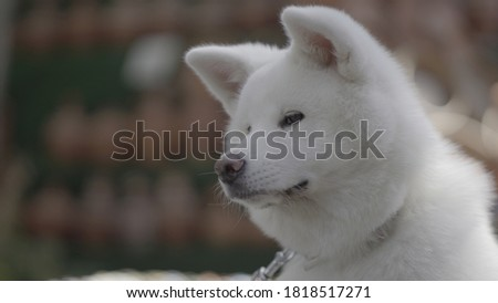 white dog yoko portrait shots #1818517271