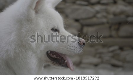 white dog yoko portrait shots #1818517292