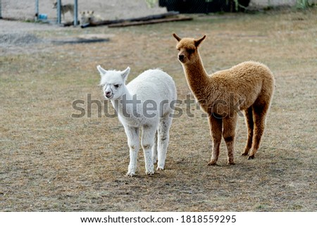 Alpacas on the grassland in autumn.