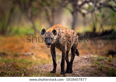Hyena, detail portrait. Spotted hyena, Crocuta crocuta, angry animal near the water hole, dark forest with trees. Animal in nature, Okavango, Botswana. Wildlife Africa.