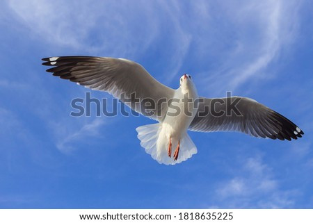 Seagull is flying in the blue sky. It is a seabird, usually grey and white. It takes live food (crabs and small fish). Royalty-Free Stock Photo #1818635225