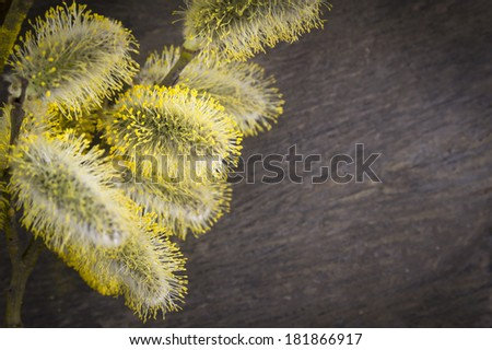 yellow pussy willow on old wood , spring time , copy space #181866917
