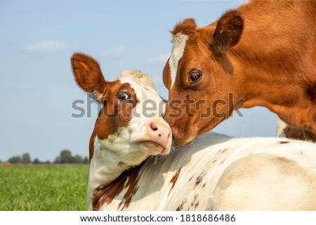 Cow playfully cuddling another young cow lying down in a pasture under a blue sky, calves love each other Royalty-Free Stock Photo #1818686486