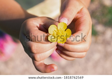 Meadow Buttercup or tall Buttercup or common Buttercup or giant Buttercup-Ranunculus acris-yellow flower in the hands of a child. close up #1818762569