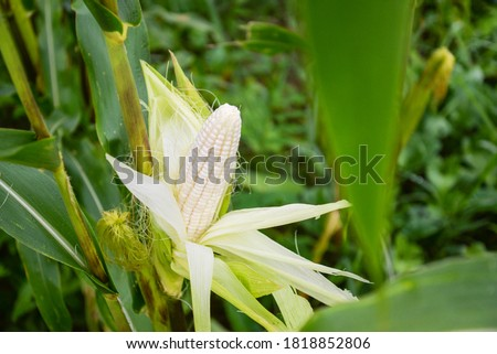 Close up photo of fruit, white waxy corn, maize, cornhusk, kernels, ear of corn, and corn leaves in the middle of green and yellow corn field #1818852806