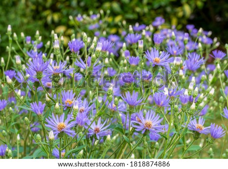 Group of lavender blue with yellow centre flowers of Michelmas daisy, Eurybia x herveyi '˜Twilight' (Aster macrophyllus 'Twilight'). Royalty-Free Stock Photo #1818874886