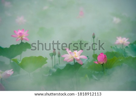 Early in the summer, the lotus in the lotus pool is blooming in the fog.