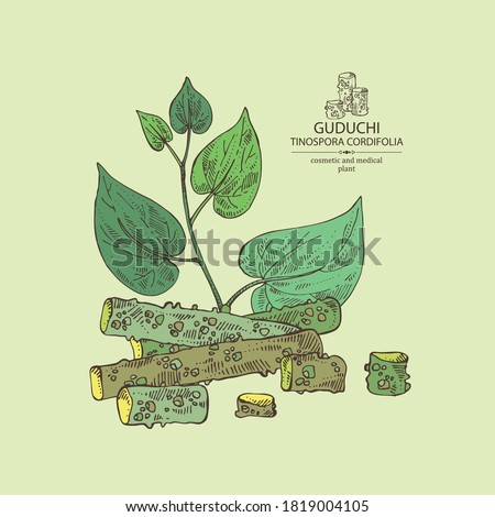 Background with guduchi : giloy plant and guduchi leaves. Tinospora cordifolia. Cosmetic and medical plant. Vector hand drawn illustration #1819004105