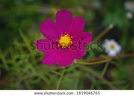 Beautiful purple Cosmos flowers in the garden. Violet flowers pictures. Cosmos bipinnatus, commonly called the garden cosmos or Mexican aster.