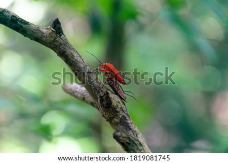 Red bug. Predatory tropical bedbugs in Sri Lanka. Predator and prey