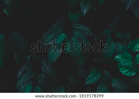 Dew and Green leaves background.Green leaves color dark tone after raining in the morning.Tropical Plant , environment,fresh,photo concept nature and plant.