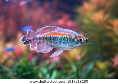 Congo tetra fish (Phenacogrammus interruptus) is a species of fish in the African tetra family, found in the central Congo River Basin in Africa. Famous aquarium ornamental fish. Soft focus Royalty-Free Stock Photo #1819219280