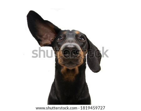 Attentive and listening  dachshund dog with one ear up. Isolated on white background. Royalty-Free Stock Photo #1819459727