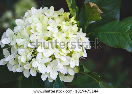 Close up picture of hydrangea in white shade with green leaves on background. Macro photo of green hydrangea flowers, as wallpaper with beautiful herbs. Garden view with petals.