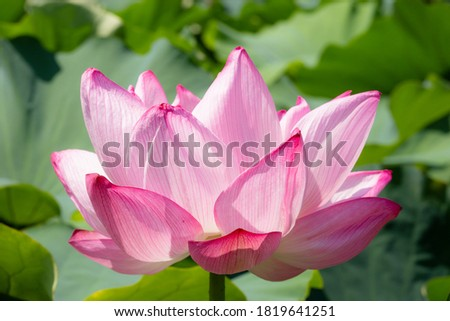 Pink water lily. Close-up picture of a beautiful flower with bright white and pink petals.