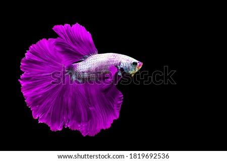 "Purple betta fish ""Fancy Halfmoon Betta"" The moving moment beautiful of Siamese Fighting fish in Thailand. Betta splendens Pla-kad (biting fish), Rhythmic of Betta fish isolated on black background"