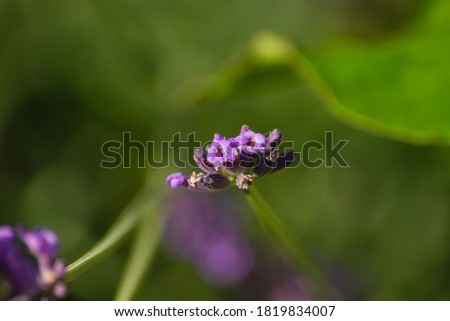 Close-up picture of lavender in summertime