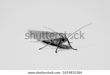 Black and white picture hoar footman moth