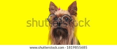 nerdy yorkshire terrier dog wearing glasses and pink bow, looking to side on yellow background
